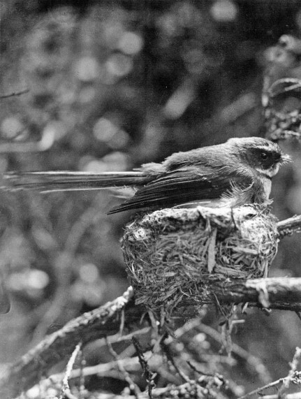 Fantail on Nest (1934)