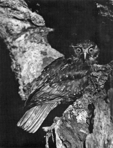 Morepork - about to enter nest (date unknown)
