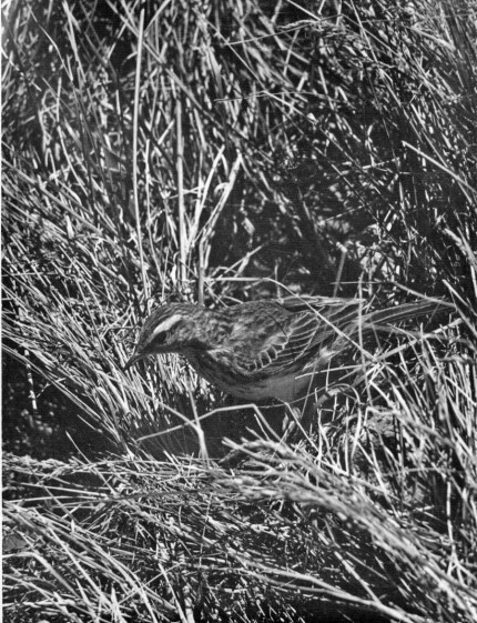 Pipit - (1934)