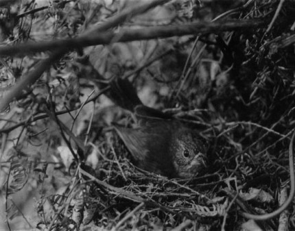 Robin on Nest (date unknown)