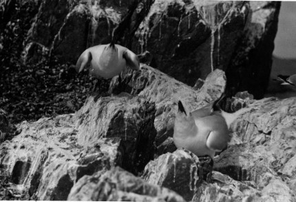 Seagull chicks waiting for lunch (date unknown)