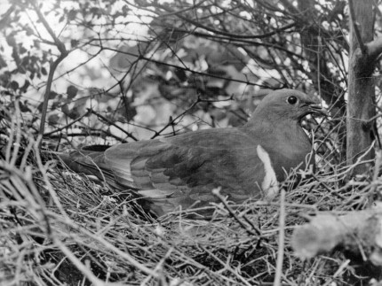 Wood Pigeon on nest (date unknown)